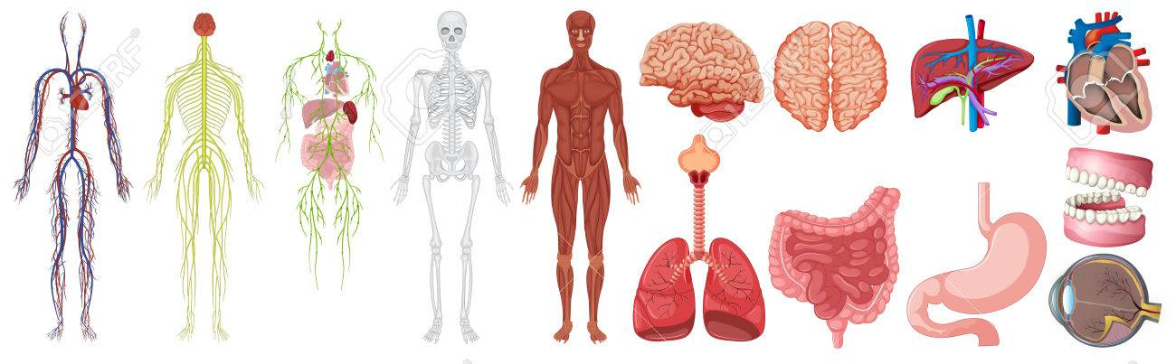 Set Of Human Anatomy And Systems Illustration Royalty Free Cliparts
