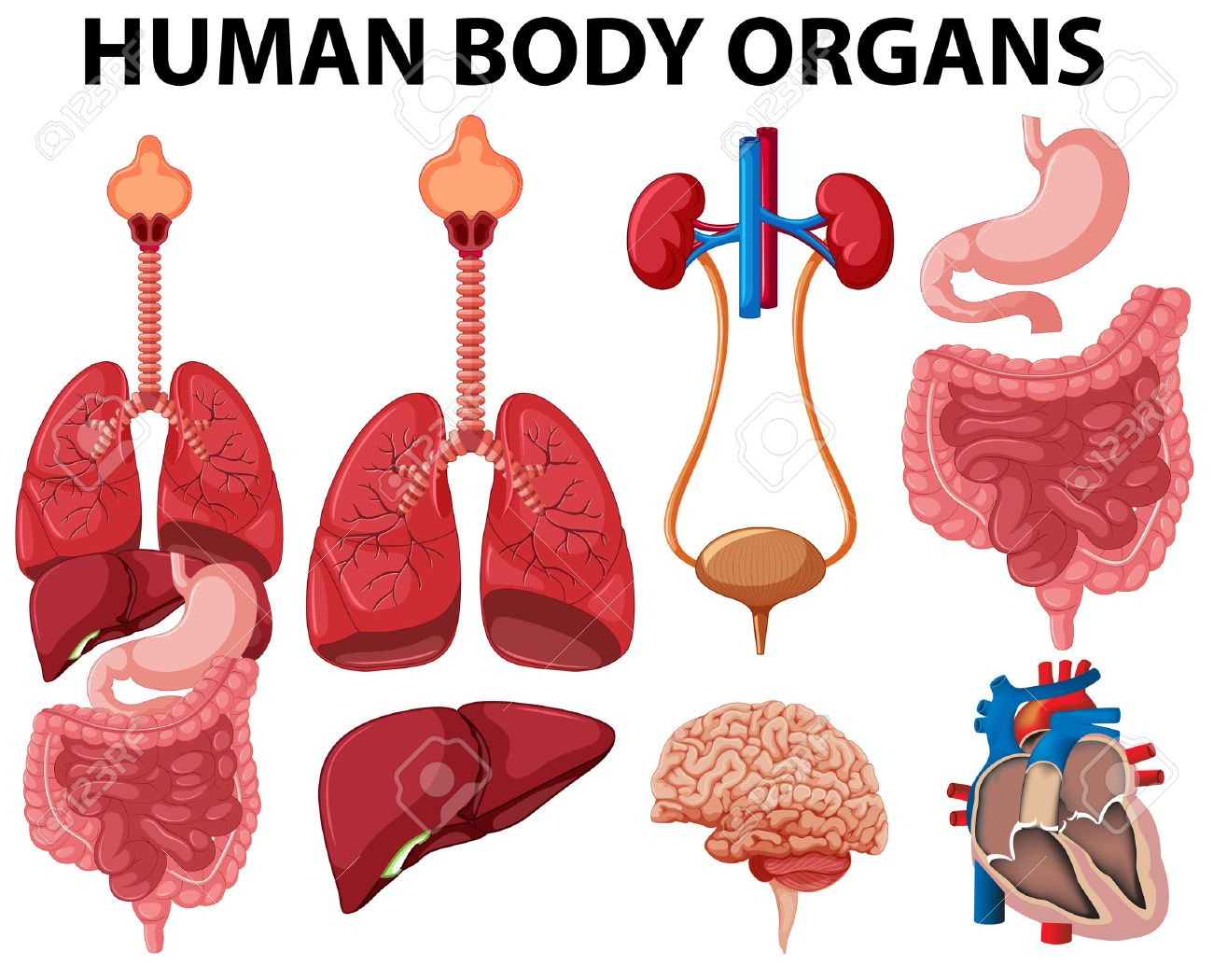 Different Type Of Human Body Organs Illustration Royalty Free ...