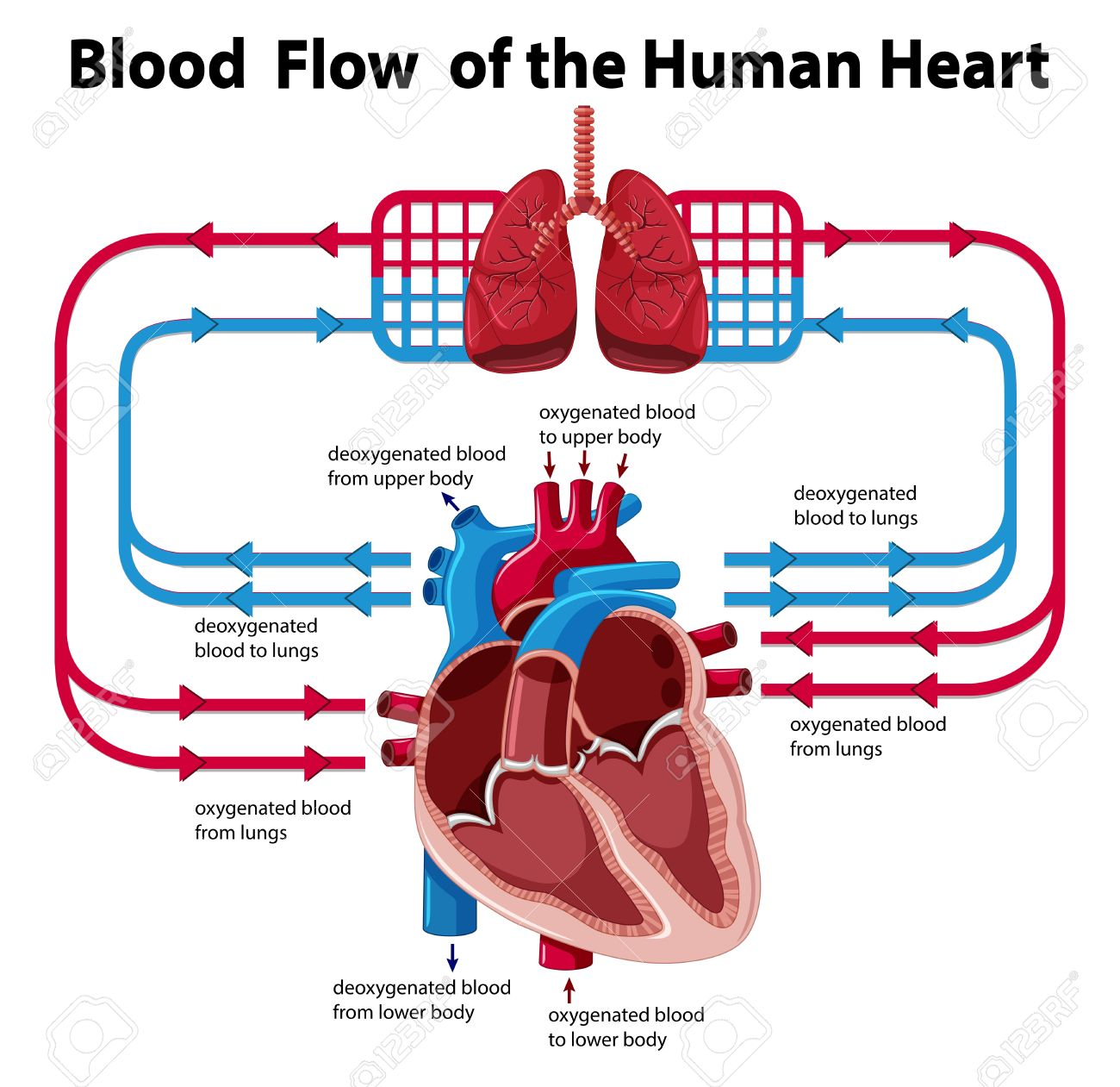 Blood flow diagram of jaw schematic wiring diagram chart showing blood flow of human heart illustration royalty free rh 123rf com blood flow diagram labeled labeled diagram of blood flow through the heart ccuart