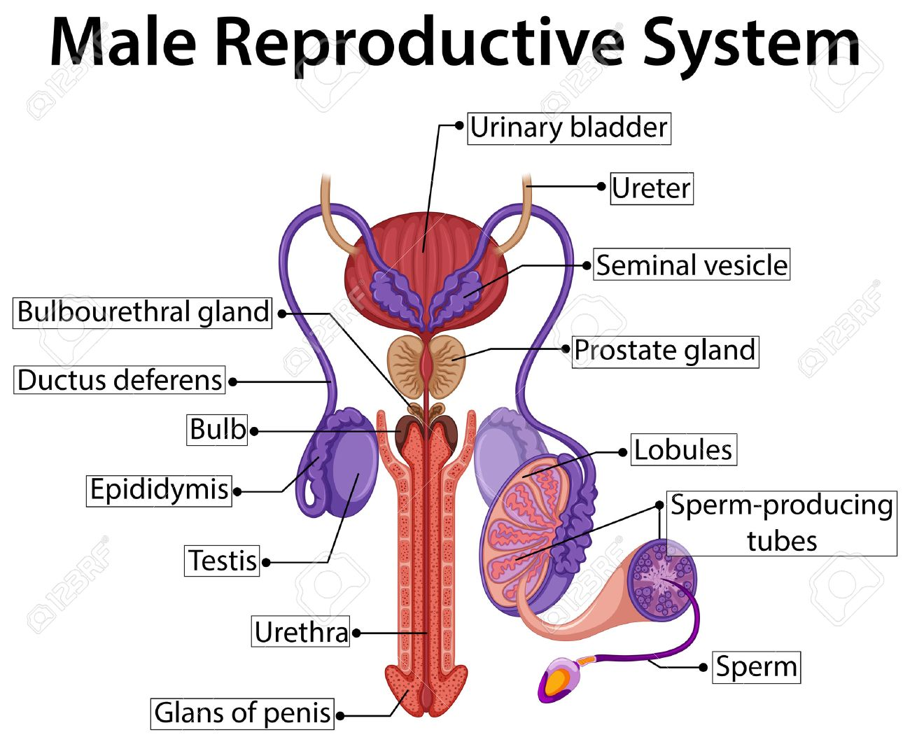 Chart Showing Male Reproductive System Illustration Royalty Free