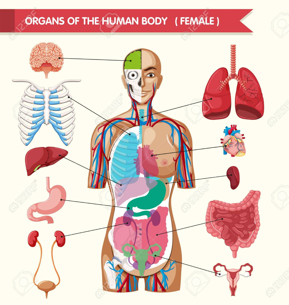 Organs Of The Human Body Diagram Illustration Royalty Free Cliparts