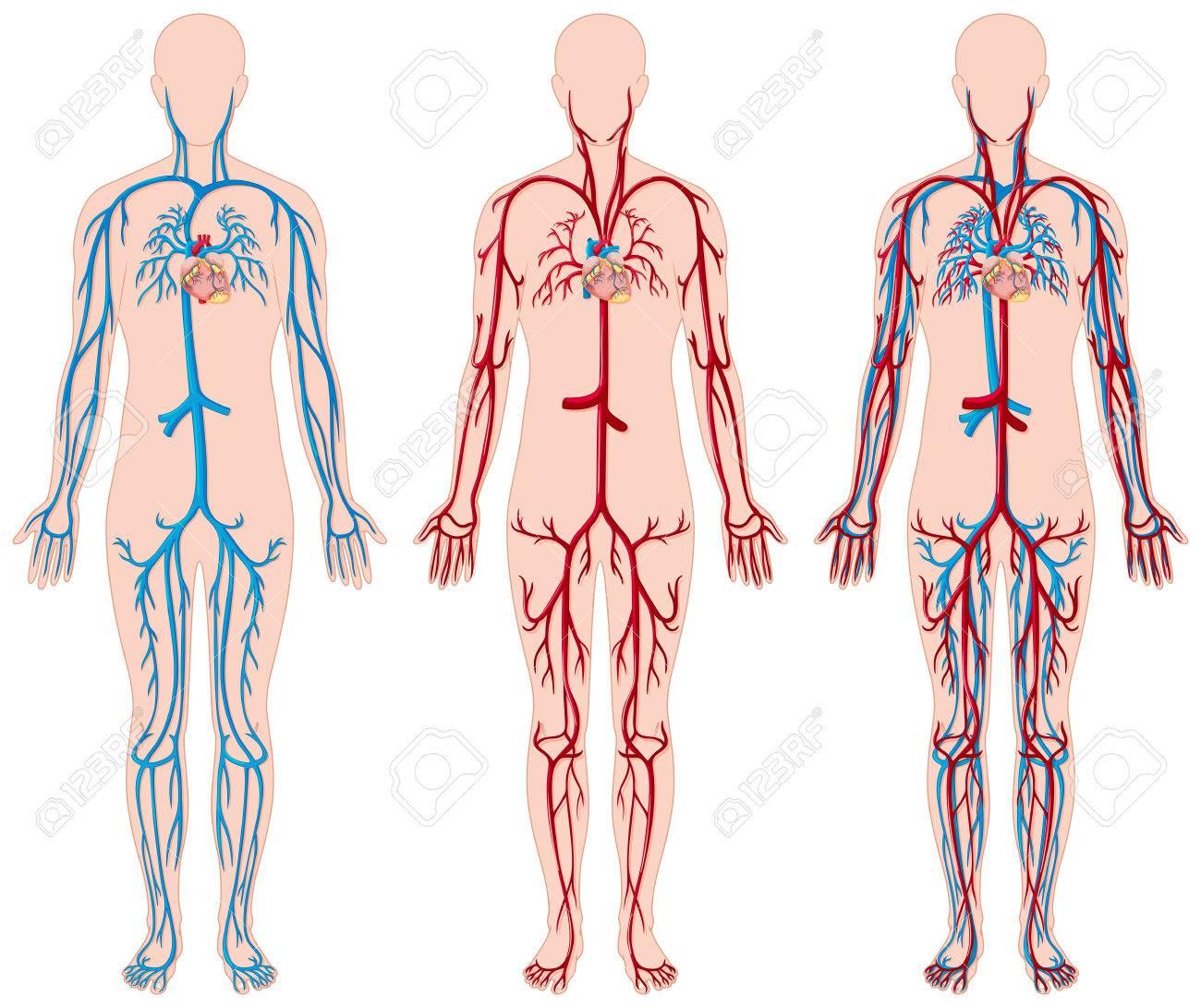 Diagrama Diferente De Los Vasos Sanguíneos En La Ilustración Humana ...