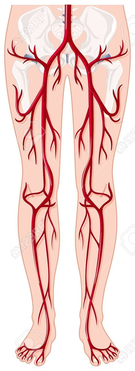 Blood Vessels In Human Body Illustration Royalty Free Cliparts ...
