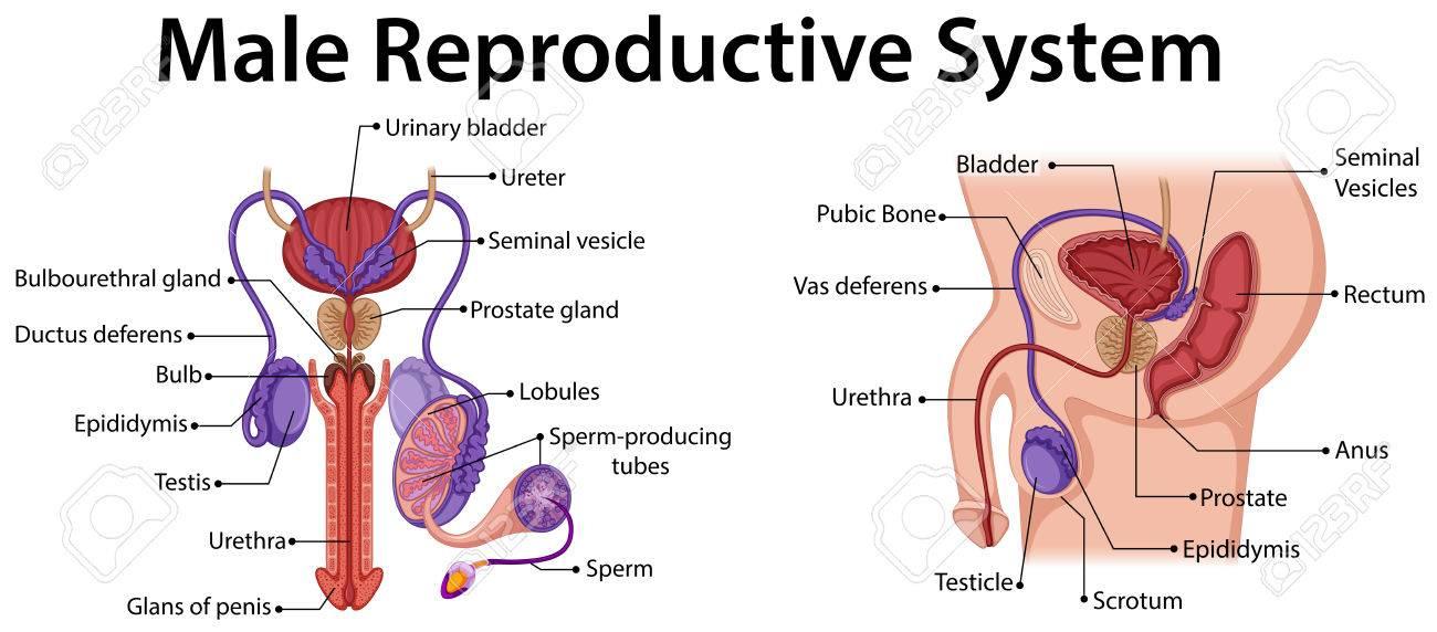Diagrama Que Muestra La Ilustración Sistema Reproductor Masculino ...