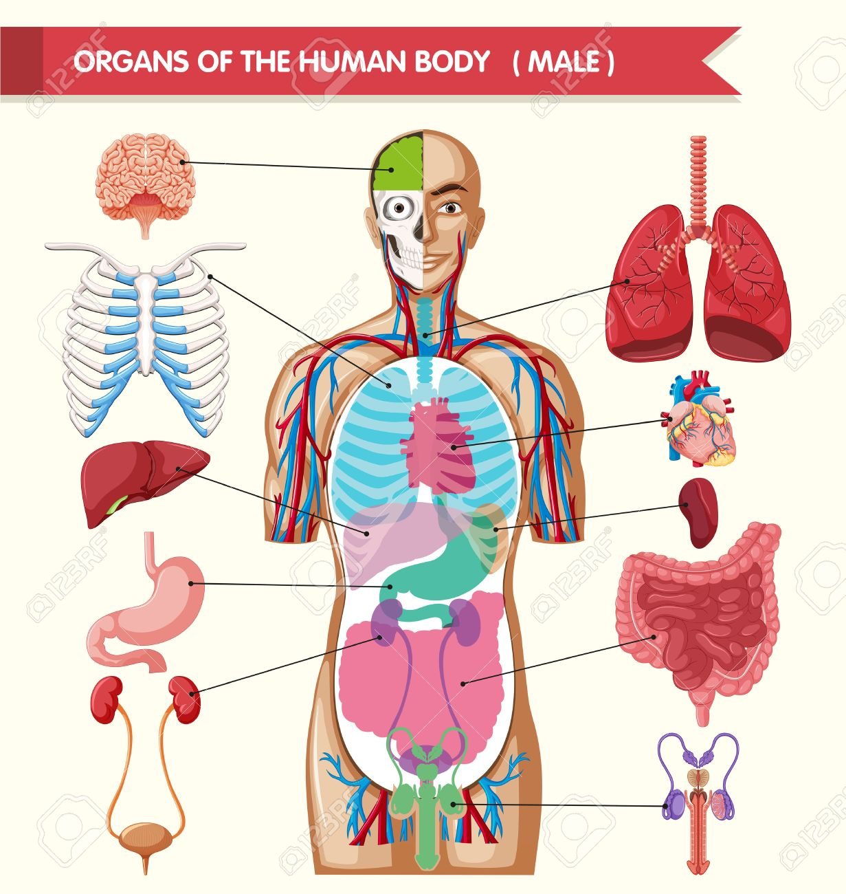 Chart Showing Organs Of Human Body Illustration Royalty Free