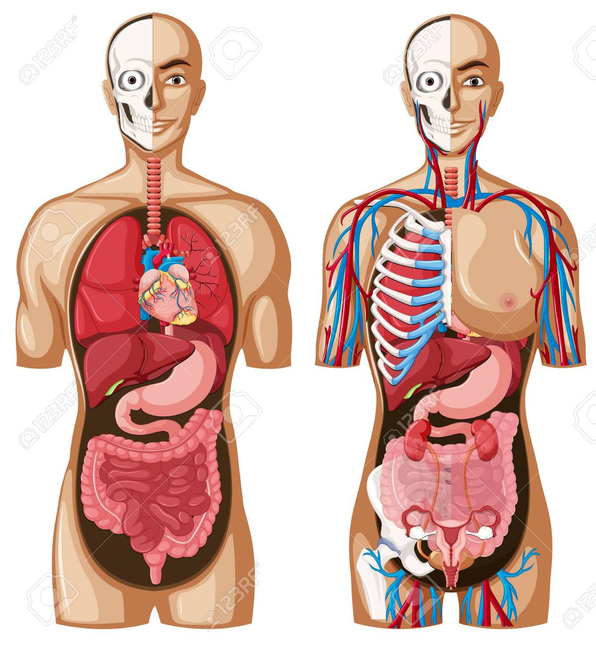 Human Anatomy Model With Different Systems Illustration Royalty Free