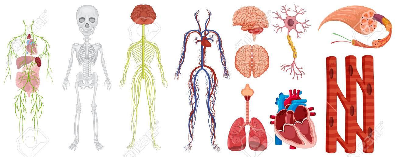 Los Diferentes Sistemas En La Ilustración Del Cuerpo Humano ...