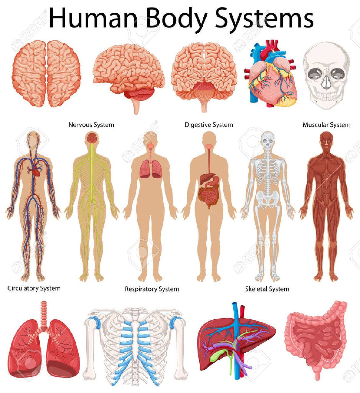 Das Diagramm Zeigt Die Menschliche Körpersysteme Illustration ...