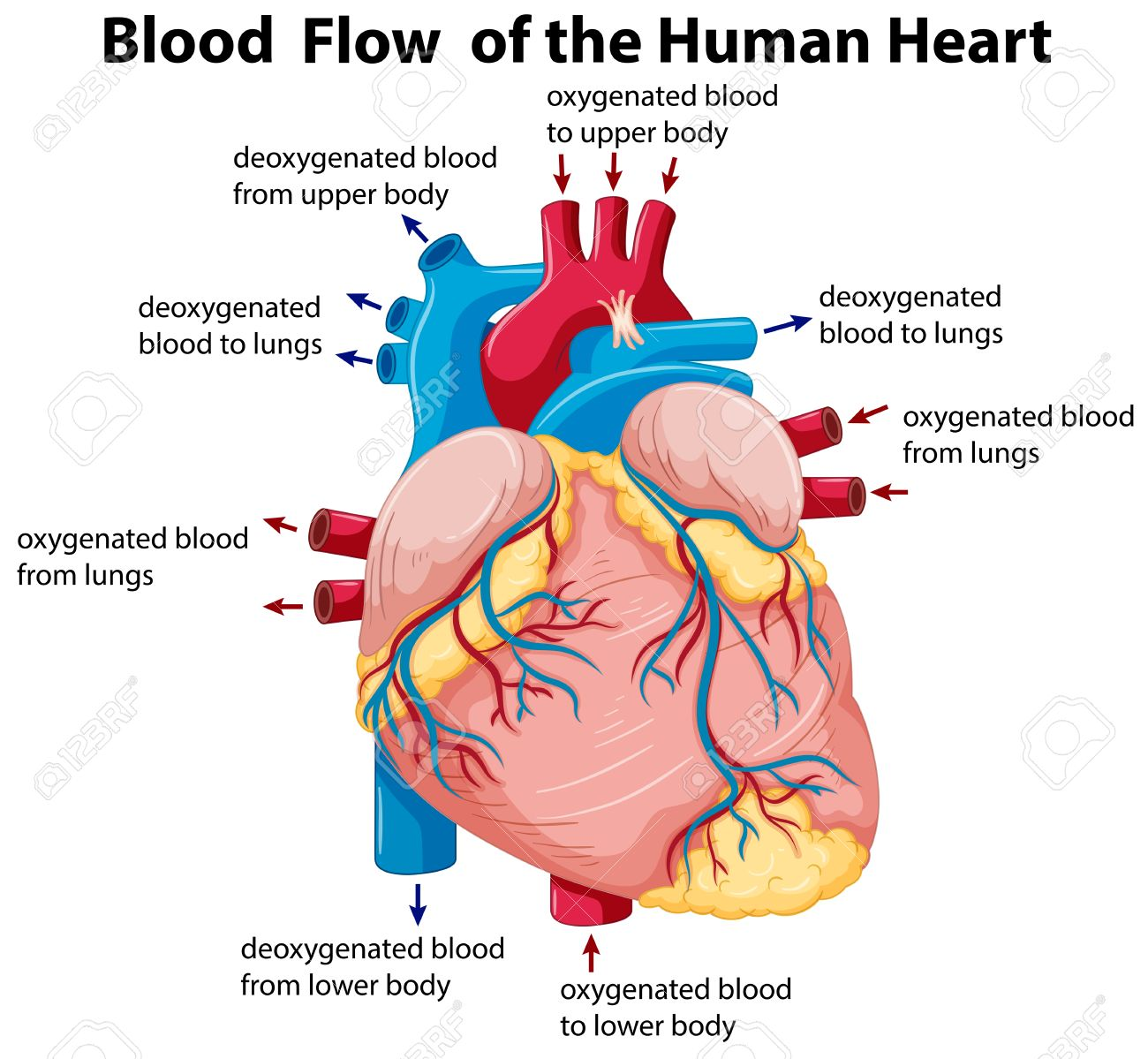 Diagram showing blood flow in human heart illustration royalty diagram showing blood flow in human heart illustration stock vector 62886268 pooptronica