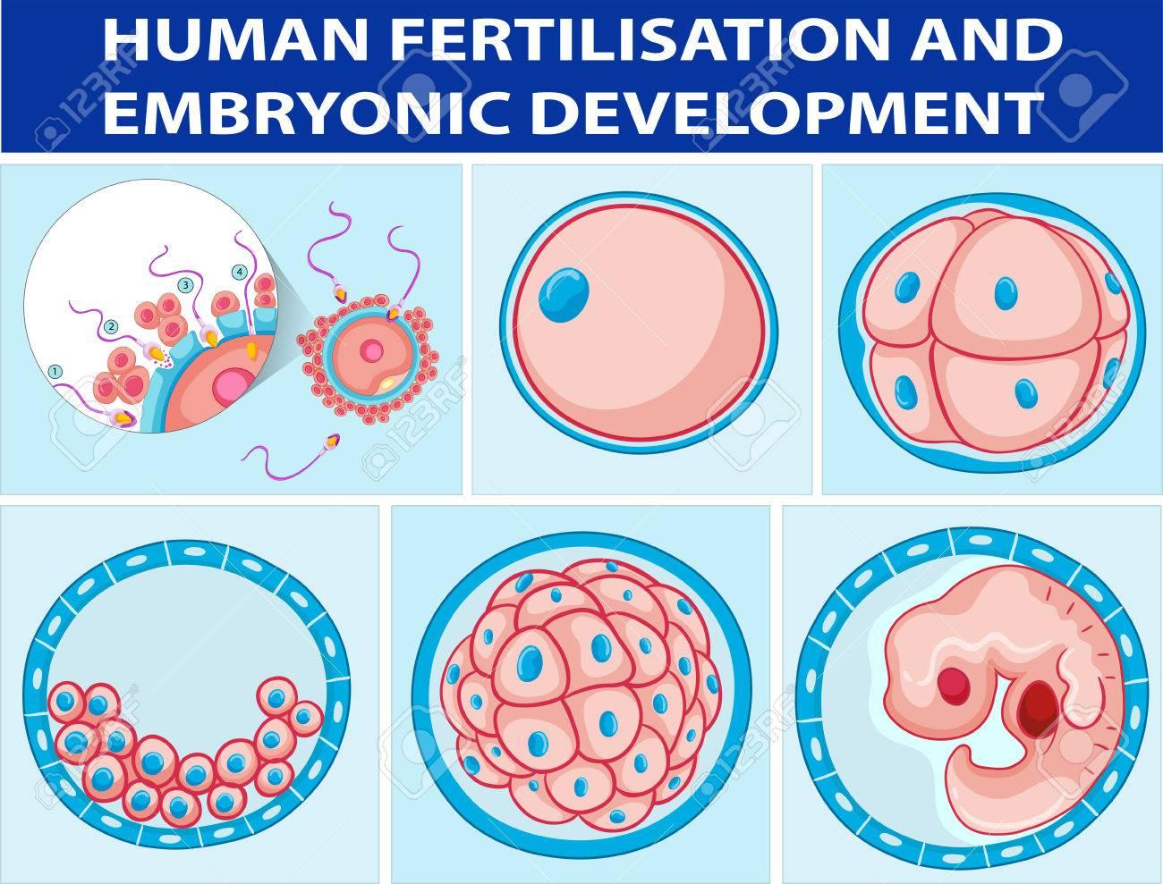 Diagrama Que Muestra La Fertilización Humana Y La Ilustración ...