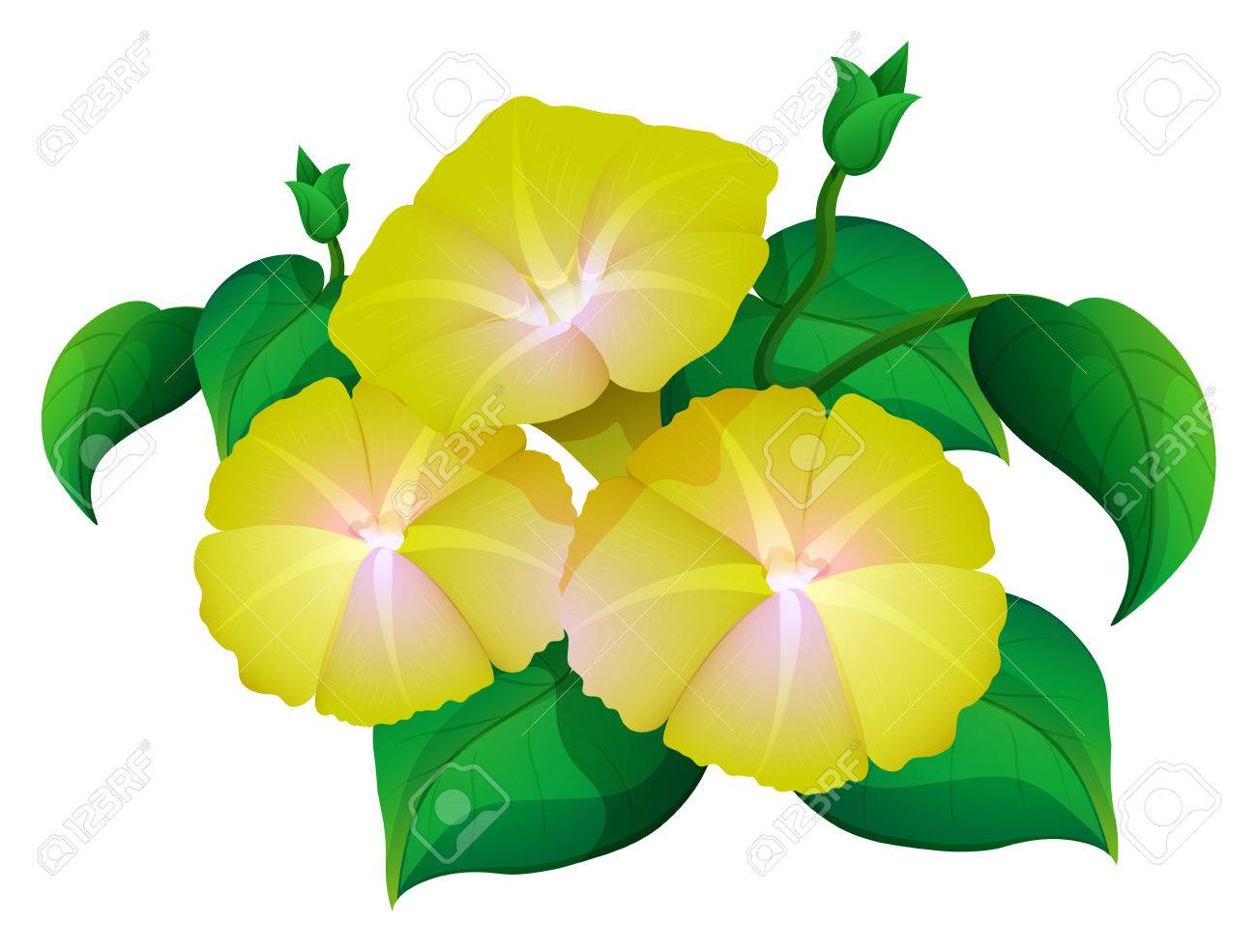 Morning Glory In Yellow Color Illustration Royalty Free Cliparts
