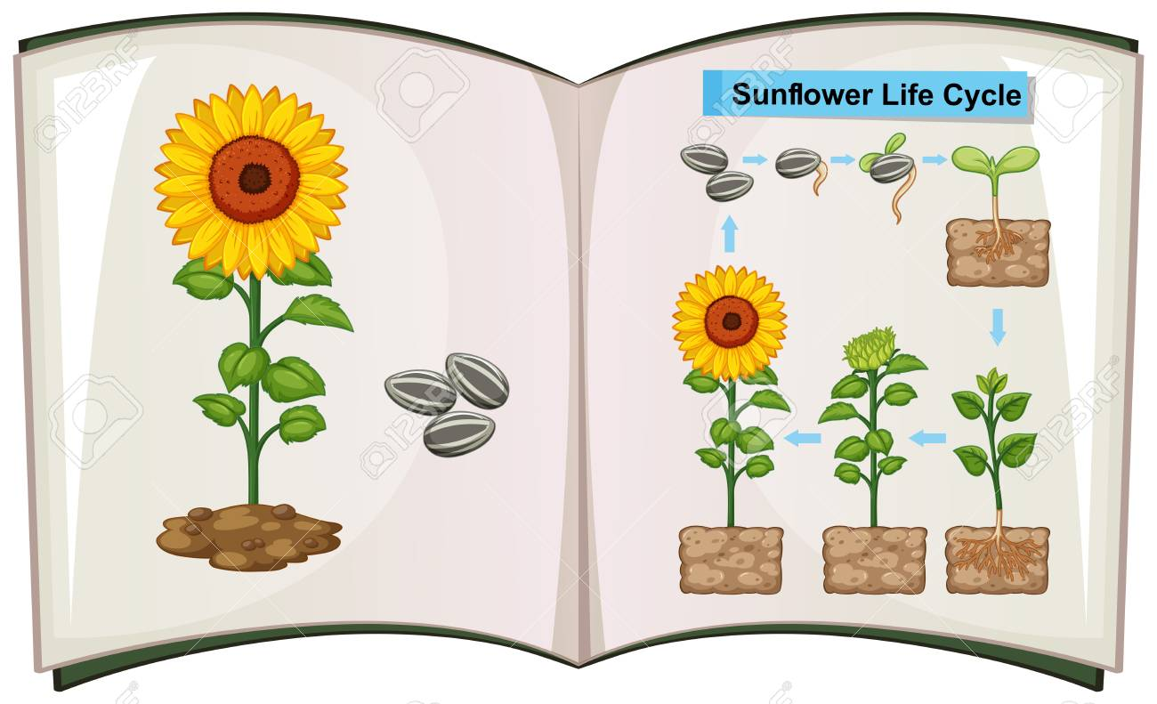 Book showing diagram of sunflower life cycle illustration royalty book showing diagram of sunflower life cycle illustration stock vector 85245633 ccuart Images