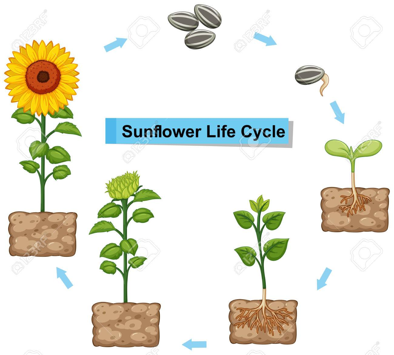 diagram of sunflowers wiring diagram speed  sunflower parts diagram #15