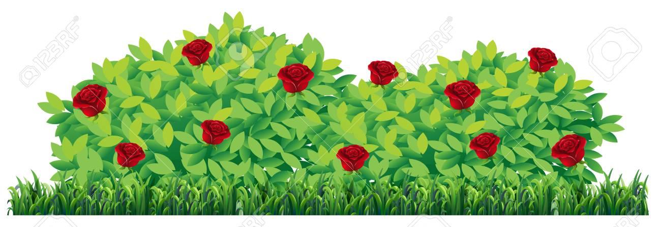 Isolated rose plant on white background illustration - 113887104