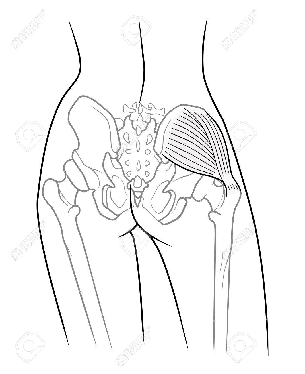 The Internal Structure Of The Pelvic Girdle Female Skeleton And ...