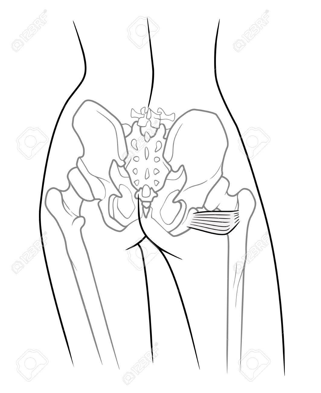 Estructura Interna Del Esqueleto De La Cintura Pélvica, Musculus ...