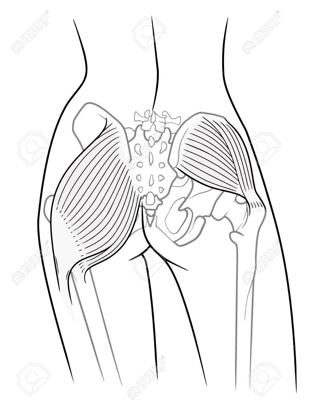 Die Innere Struktur Des Beckengürtels Weiblichen Skeletts Und ...