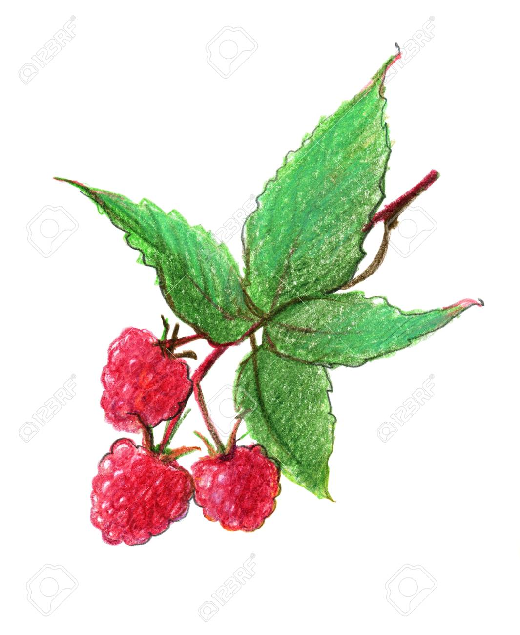 Image Of Berries Of A Red Raspberry. Drawing With Colored Pencils ...