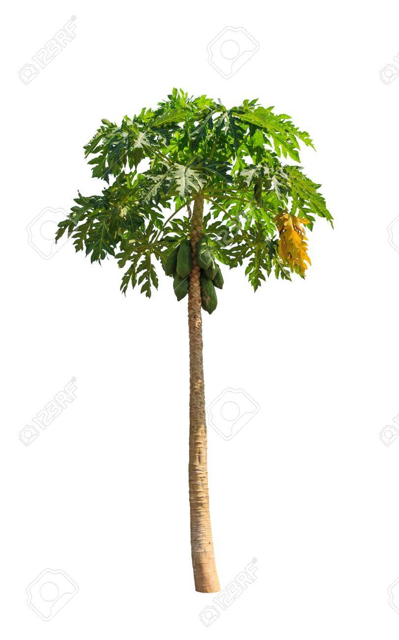Papaya Tree Carica Also Known As Papayas Papaw Pawpaw Tropical