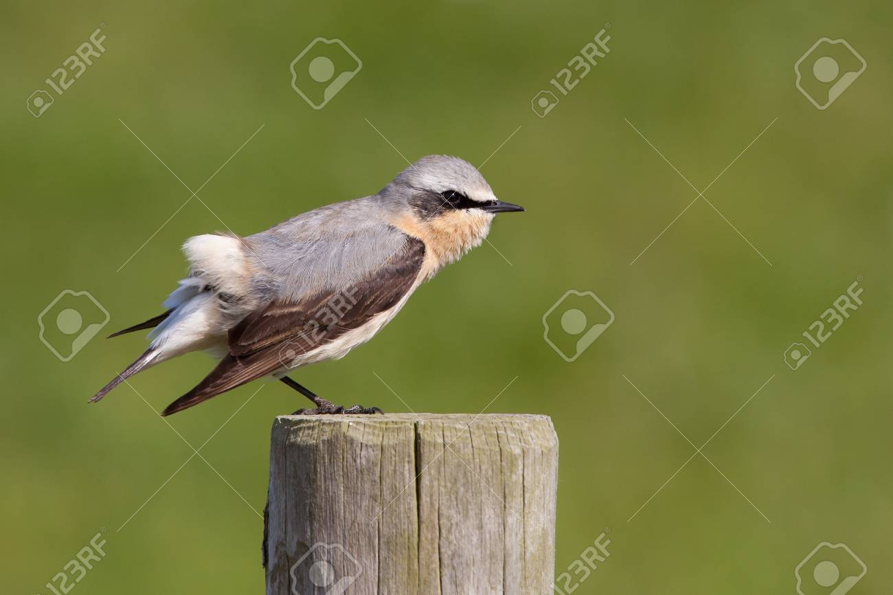 Wheatear stretching on a post Stock Photo - 13836511