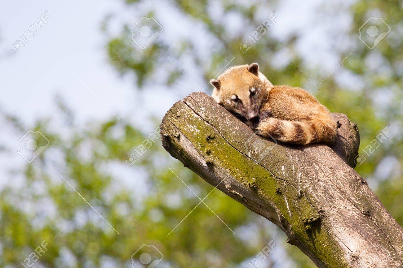 South American Coati Or Ring Tailed Coati Nasua Nasua Resting