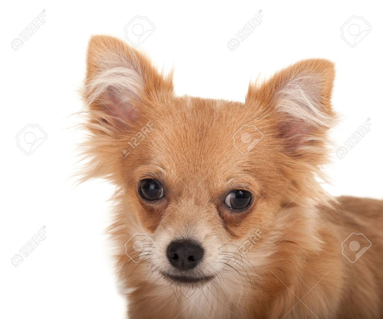 Close Up Of A Long Haired Chihuahua Puppy Dog In Front Of A White Stock Photo Picture And Royalty Free Image Image 29508375