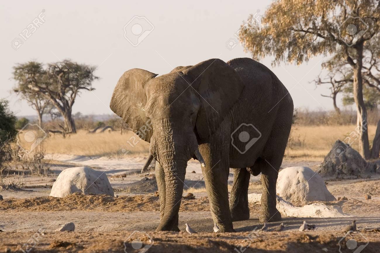 Elephant taking a mud bath at a waterhole in Savute (Chobe, Botswana) Stock Photo - 1599173
