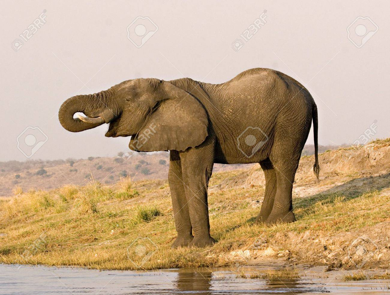 African elephant drinking from Chobe River in Botswana Stock Photo - 1599177