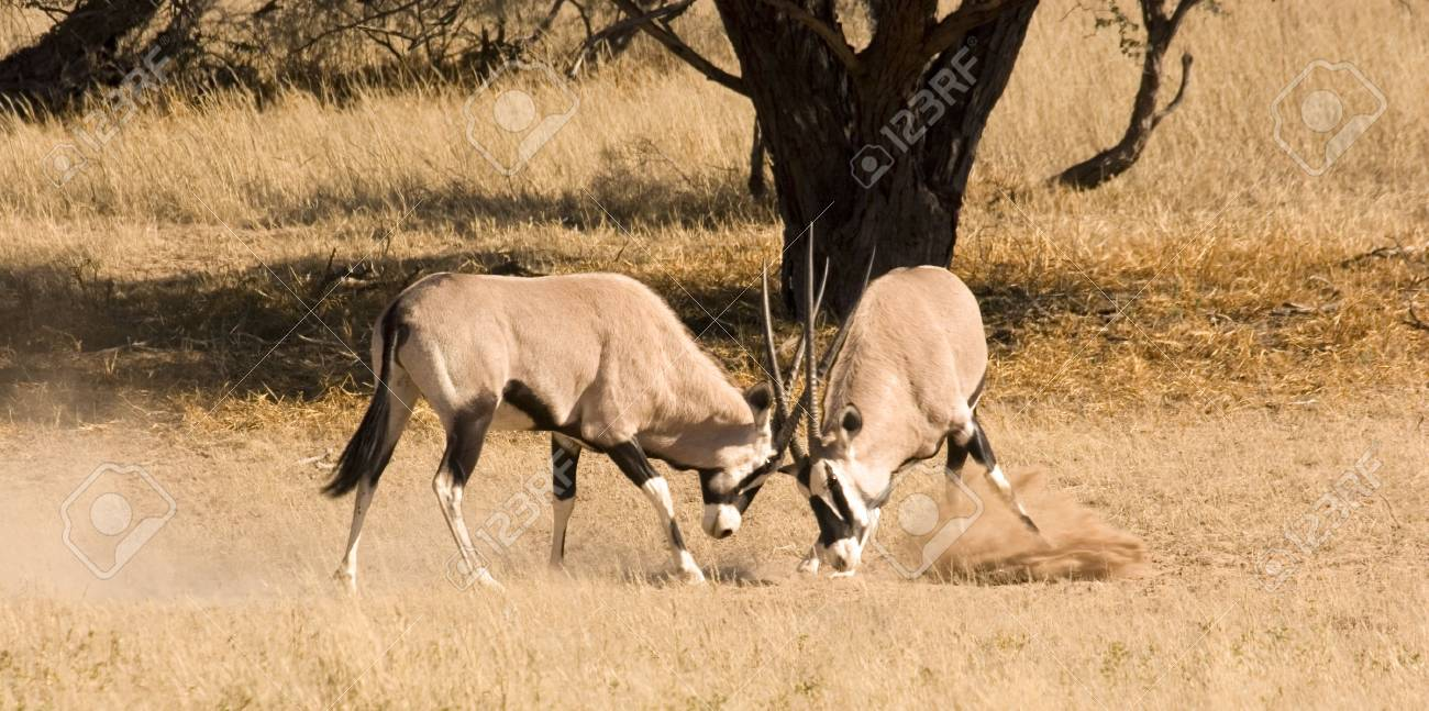 Two oryx fighting in Kgalagadi Transfrontier Park Stock Photo - 3132717