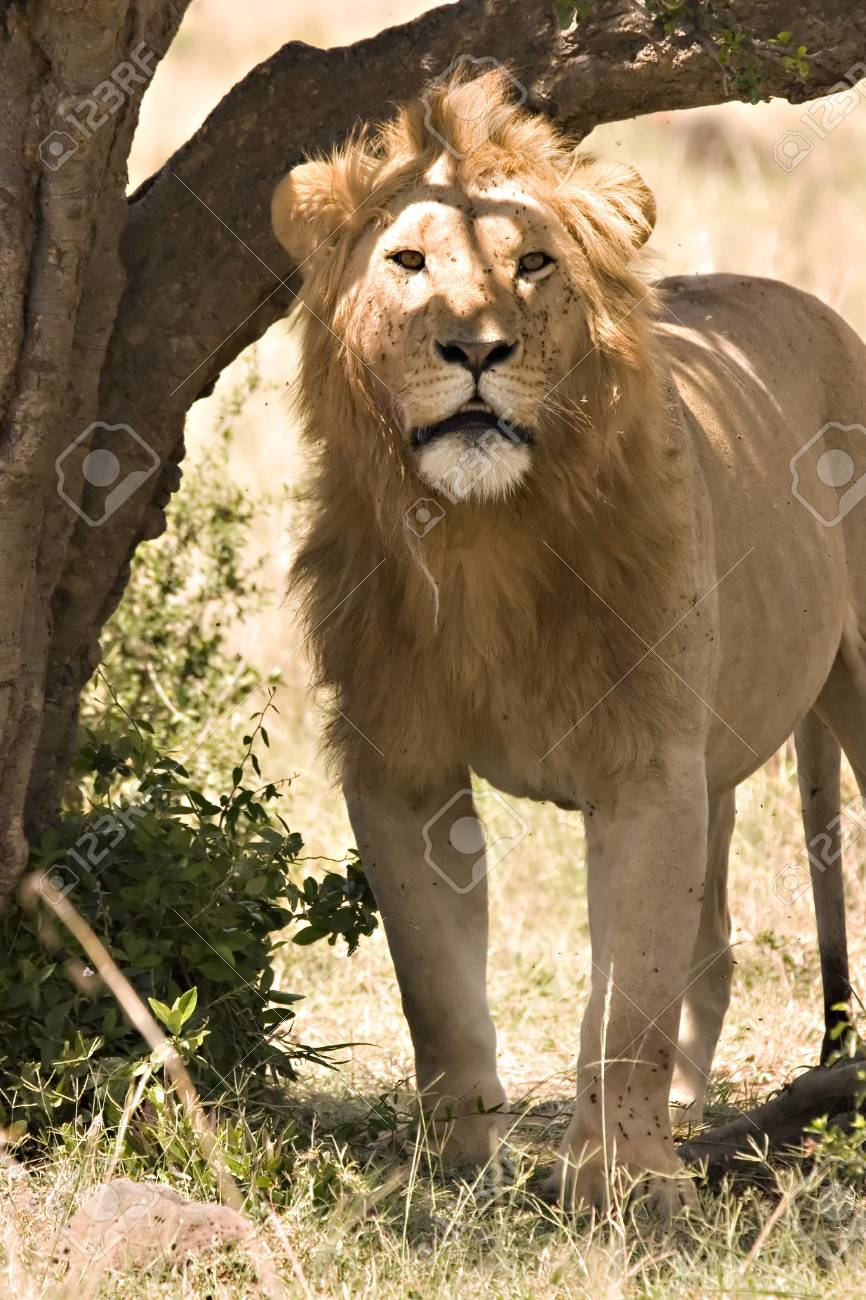Lion standing under a tree looking into camera in Masai Mara Kenya Stock Photo - 4020127