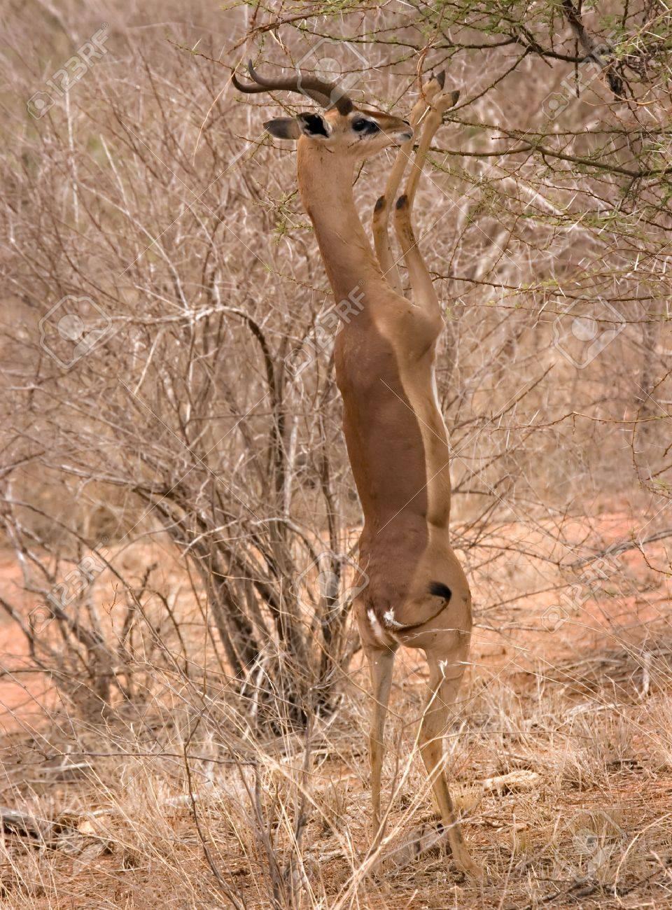 Gerenuk eating in Tsavo East Kenya Stock Photo - 4070517
