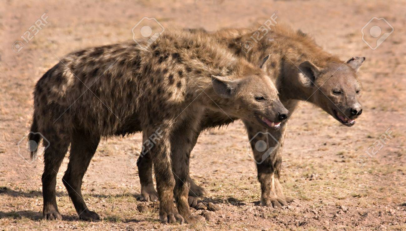 Two hyenas in Amboseli Kenya Stock Photo - 4070514