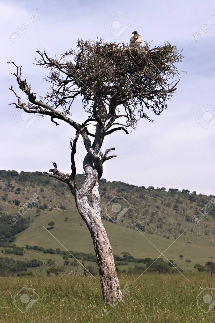Vulture in tree in Masai Mara Kenya Stock Photo - 4070519