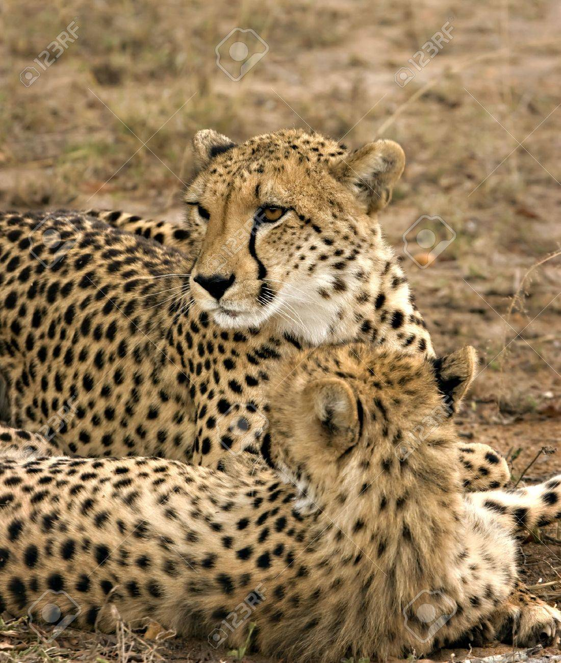 Cheetah mother and cub in Thornybosh Game Reserve South Africa Stock Photo - 5381411