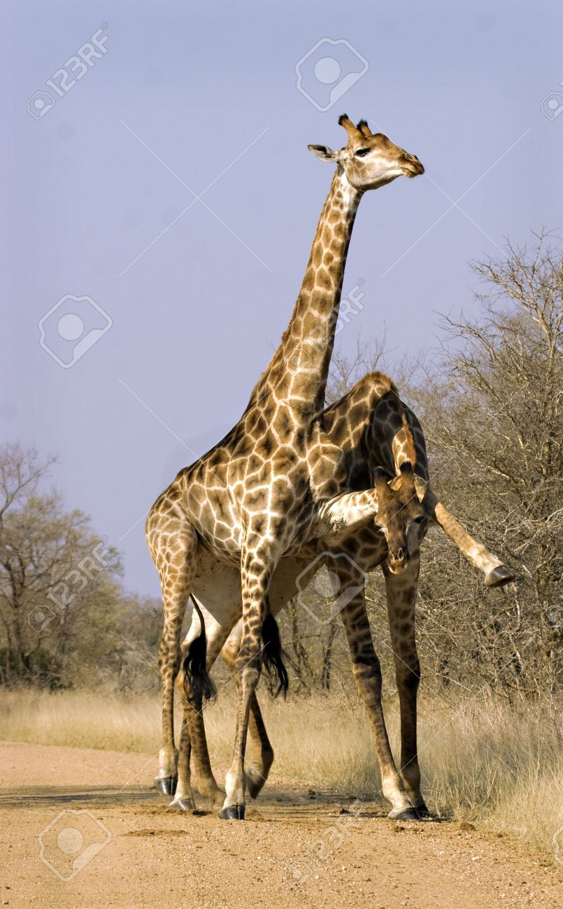 Two giraffes fighting in Kruger National Park South Africa Stock Photo - 5381480