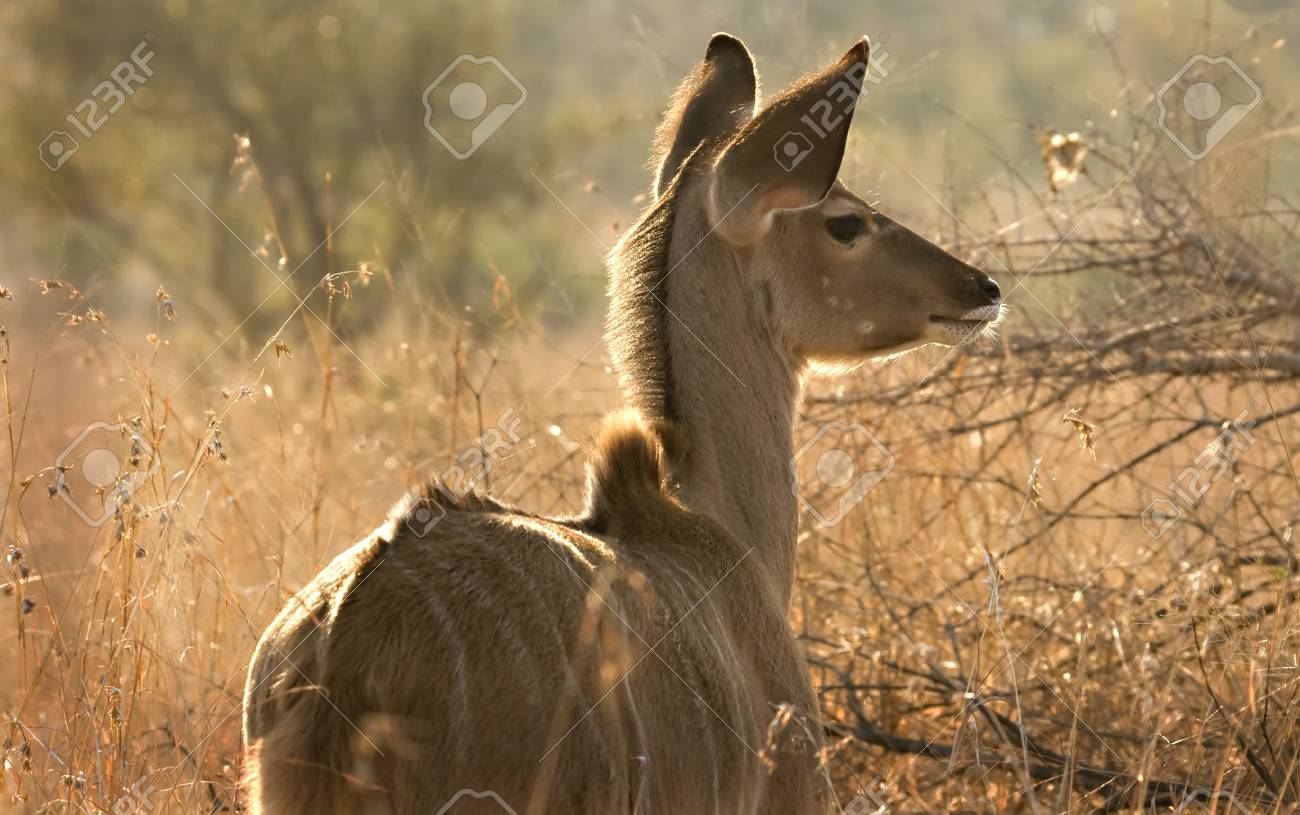 Kudu calf in Kruger National Park South Africa Stock Photo - 5381483