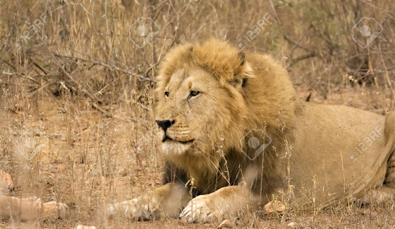 Lion in Kruger National Park South Africa Stock Photo - 5381410