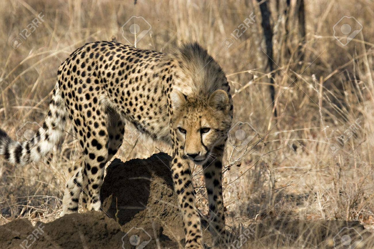 Young cheetah walking in Thornybush Game Reserve South Africa Stock Photo - 5381440