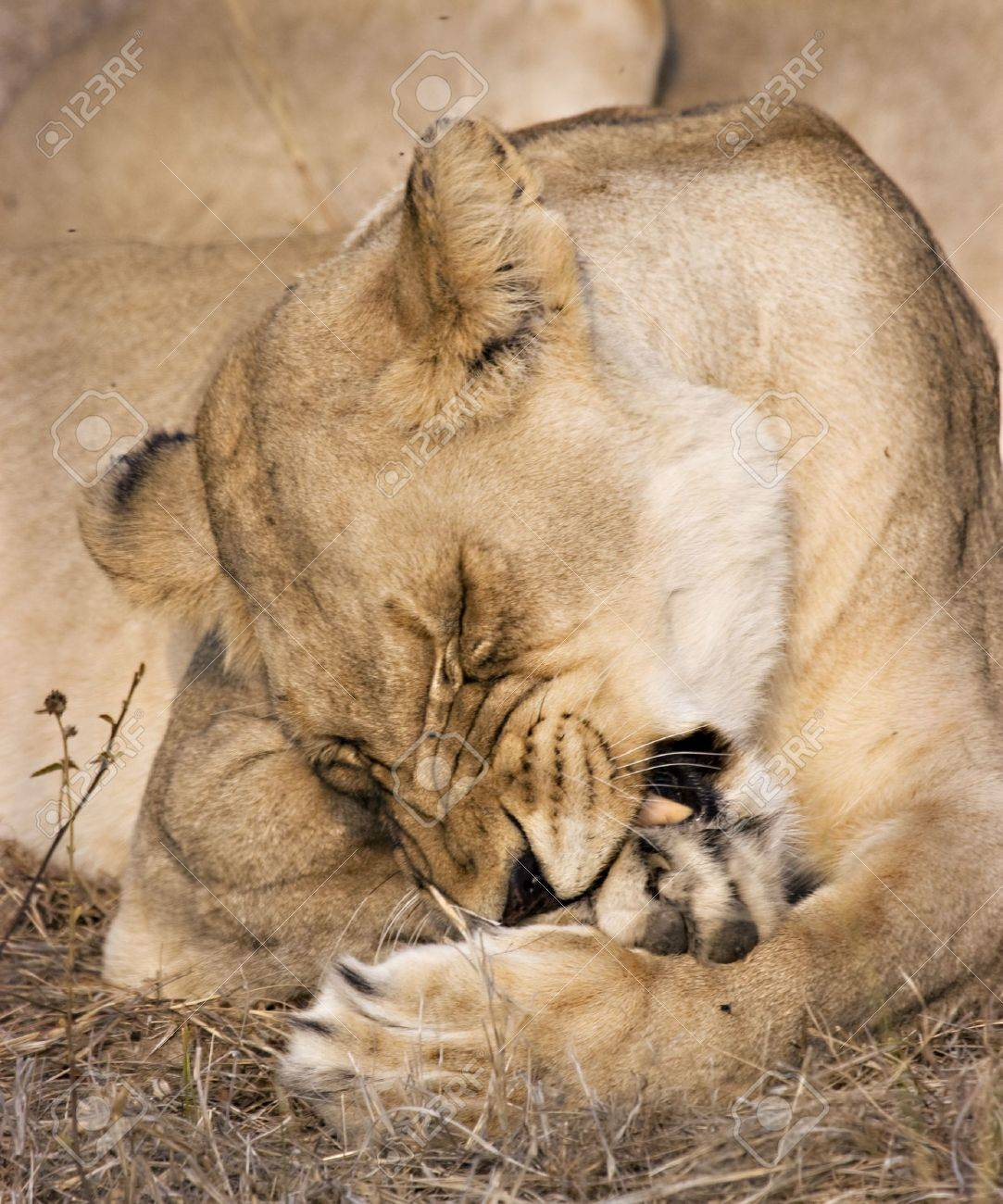 Lioness in Thornybush Game Reserve South Africa Stock Photo - 5381436
