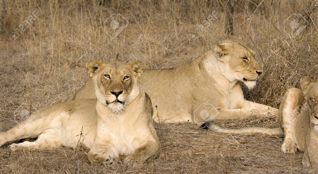 Lionesses in Thornybush Game Reserve South Africa Stock Photo - 5381434