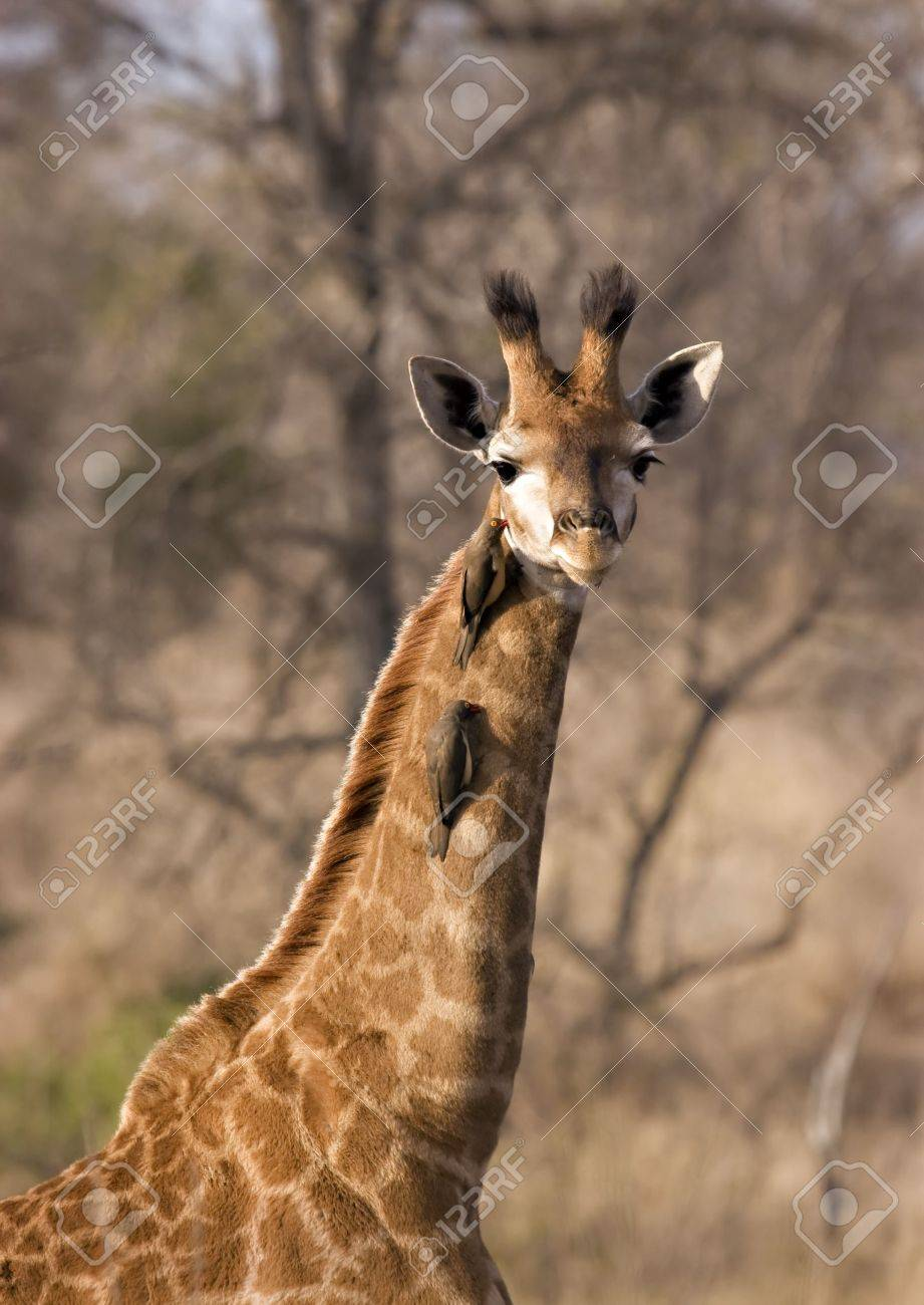 Giraffe calf in Kruger National Park South Africa Stock Photo - 5381453