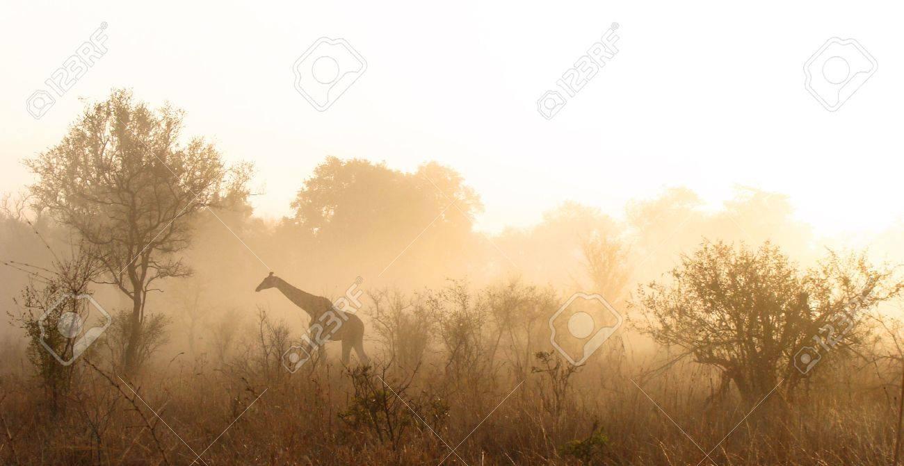 Giraffe walking on misty morning in the Kruger Park Stock Photo - 5381406
