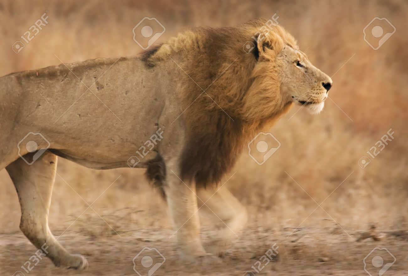 Lion walking in Kruger National Park South Africa Stock Photo - 5381437