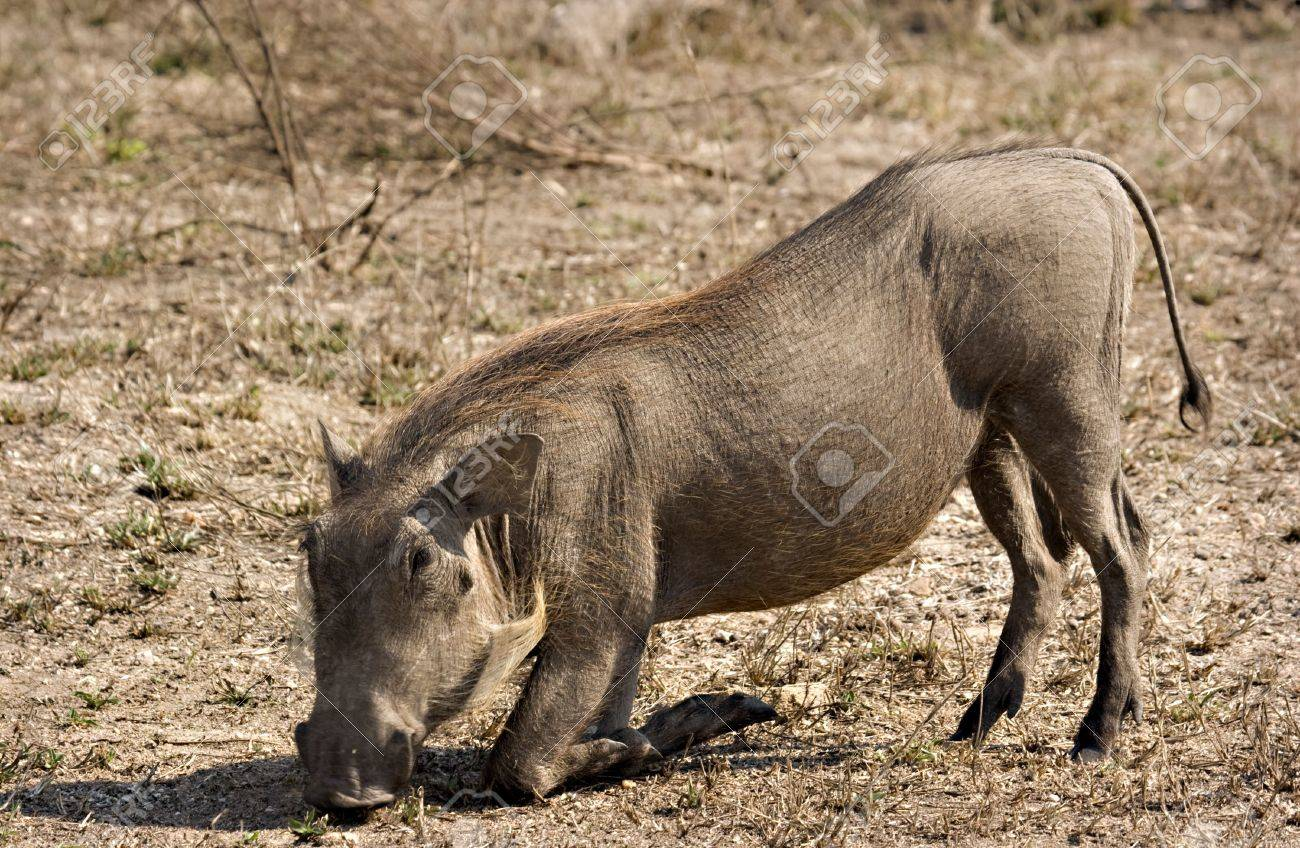 Warthog grazing in Kruger National Park South Africa Stock Photo - 5381446