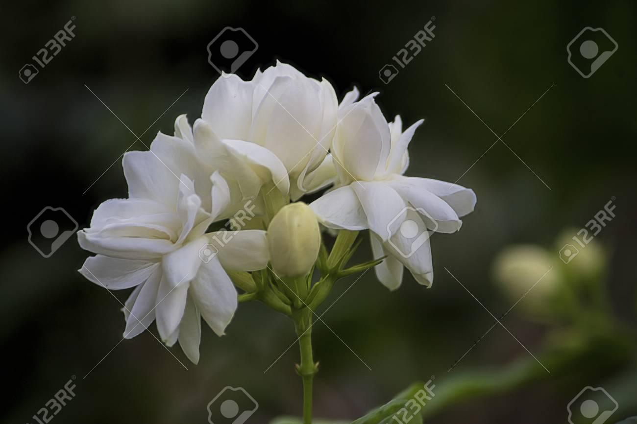 Bunch Of Jasmine Flowers With Dark Green Nature Background Stock