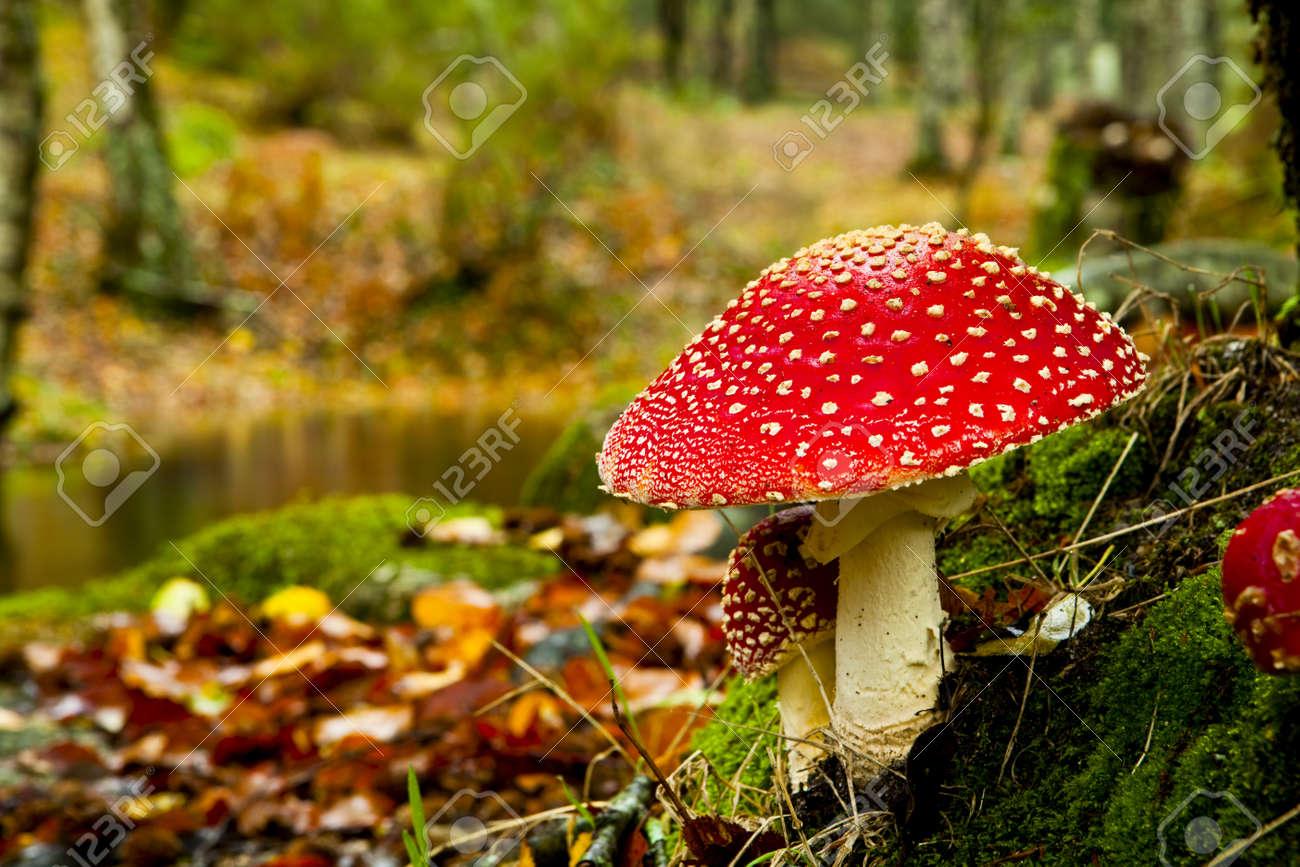 poisonous mushrooms stock photos royalty free poisonous mushrooms
