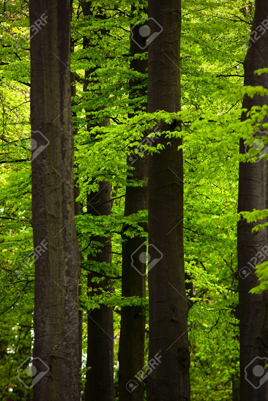 Picture of a beautiful forest with high trunks and green foliage Stock Photo - 9209685