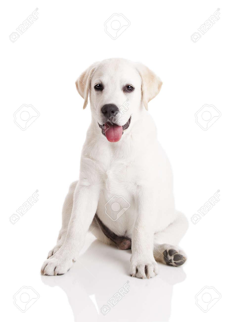 Beautiful labrador retriever cream puppy isolated on white background Stock Photo - 11130830