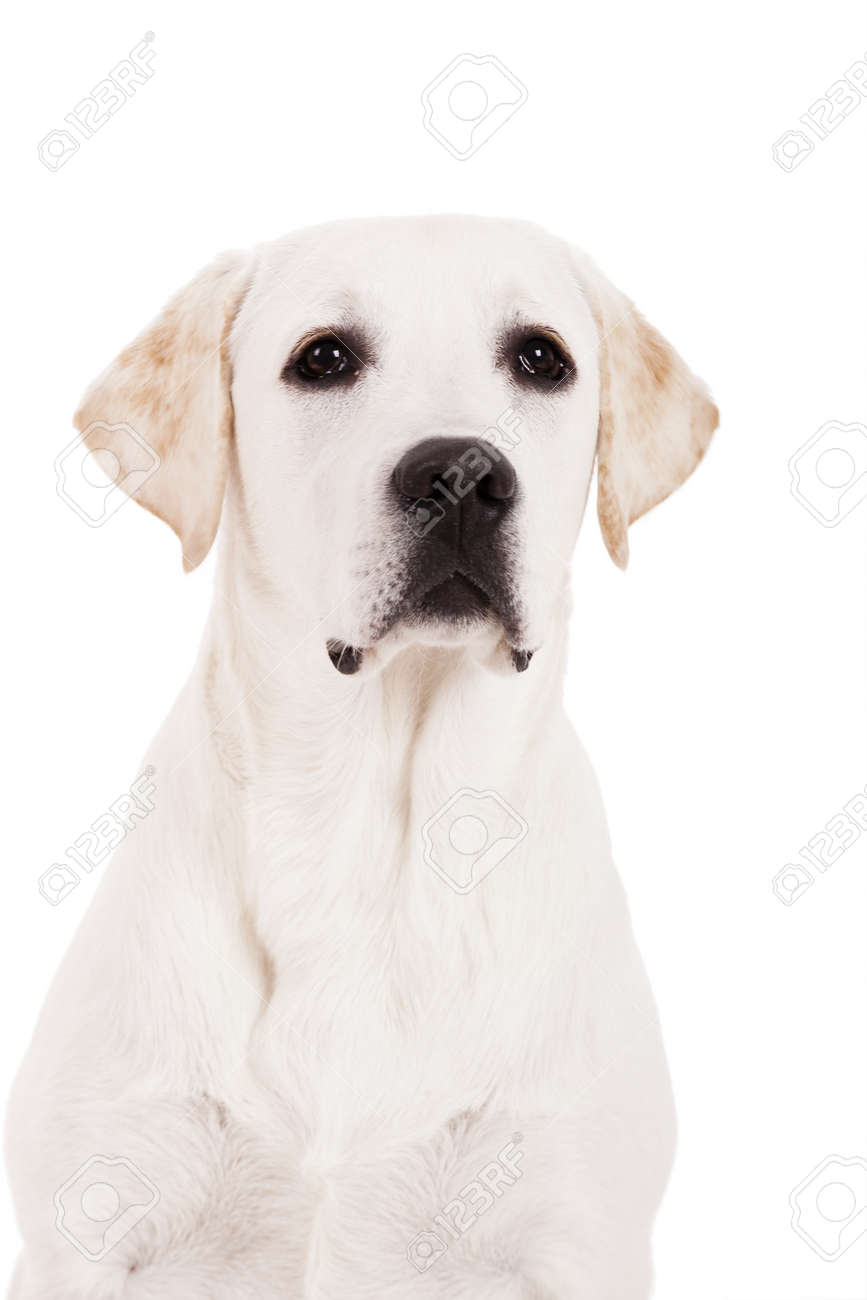 Beautiful dog of breed Labrador sitting and isolated on white Stock Photo - 15760507