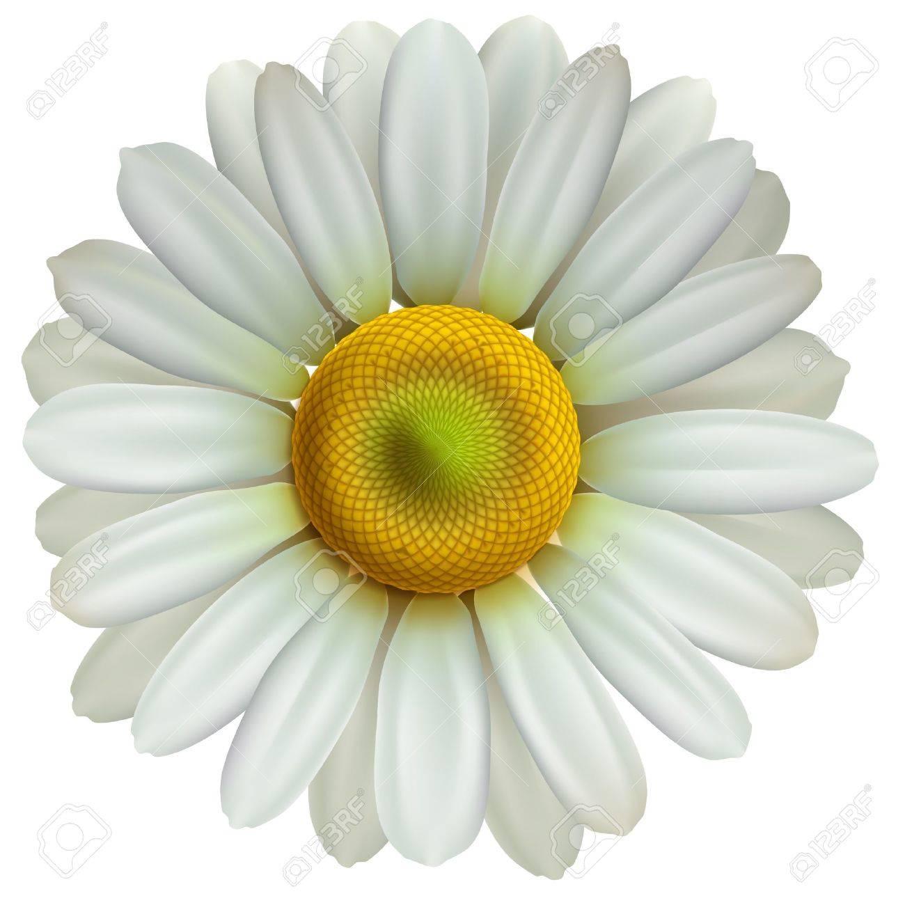 Chamomile flower Stock Vector - 17061851